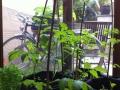 Jeunes plants de tomates - juin 2013 - coloc' Alix