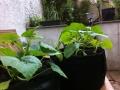 Courgettes (2 plant par sac) - juin 2013 - coloc' d'Alix