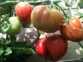 Potager de Damien et Sylvie - Tomates